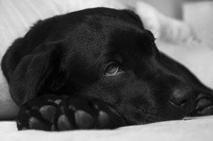 meilleure mutuelle pour chien