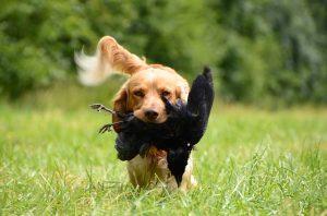 race chien de chasse