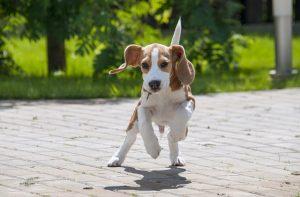 races de chien anglais