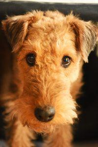 chien anglais