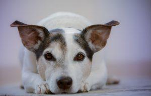 à quel âge un chien est adulte ?